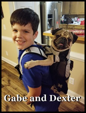 Dexter - Now Dexter can go everywhere with Gabe! - Adult Fawn Pug | A dog is one of the remaining reasons why some people can be persuaded to go for a walk.