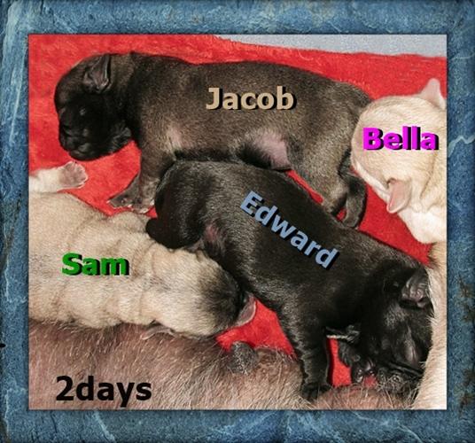 Bella's boys Edward and Jacob, black and platinum