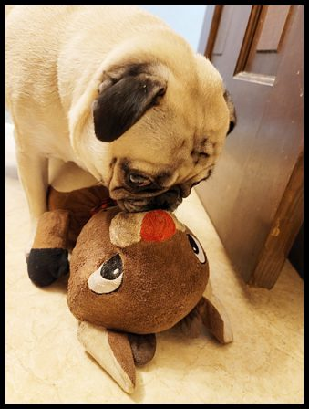 Emily/Miss Georgia Belle kissing Rudolph in 2020 - Adult Fawn Pug   A dog can't think that much about what he's doing, he just does what feels right.