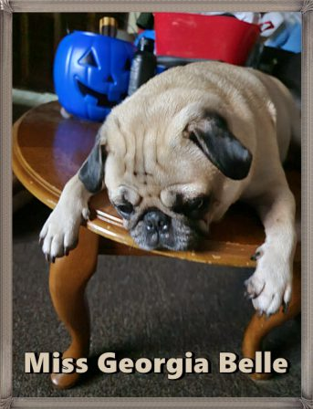 A pug after pigging out! - Adult Fawn Pug   Dogs love their friends and bite their enemies, quite unlike people, who are incapable of pure love and always mix love and hate.