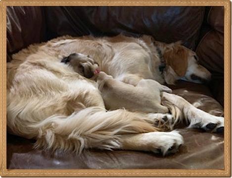 Pug and Golden Retriever – BFF's