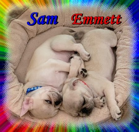 Sam went to live with his brother Emmett at the Luther household - White Pug Puppies | Once you have had a wonderful dog, a life without one is a life diminished.