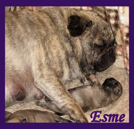 Momma and her look alike puppy - Brindle Pug - Puppies and Adults | My goal in life is to be as good of a person my dog already thinks I am.