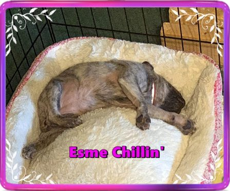 Bella's Esme enjoying her new bed - Brindle Pug Puppies | He is your friend, your partner, your defender, you are his life, his love, his leader.