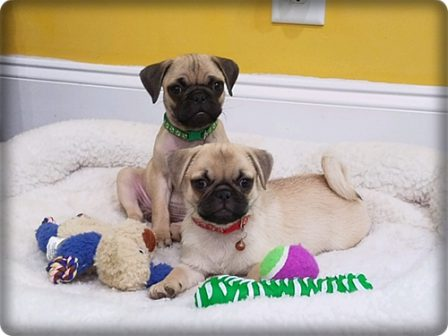 Tuy and Wan - we are most photogenic! - Fawn Pug Puppies | I've seen a look in dogs' eyes, a quickly vanishing look of amazed contempt, and I am convinced that basically dogs think humans are nuts.