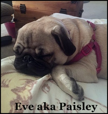 Dennis & Darla's very own Paisley living the good life! - Fawn Pug Puppies | No one appreciates the very special genius of your conversation as the dog does.