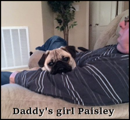 Paisley's favorite spot! - Fawn Pug Puppies | No Matter how little money and how few possessions you own, having a dog makes you rich.
