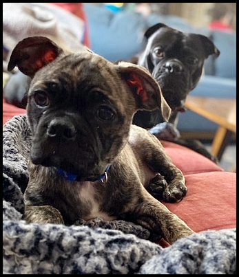My name is Floki and I am a brindle Bugg - Brindle Pug Puppies | No Matter how little money and how few possessions you own, having a dog makes you rich.