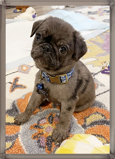 My name is Enzo and I am a blue merle teddy pug