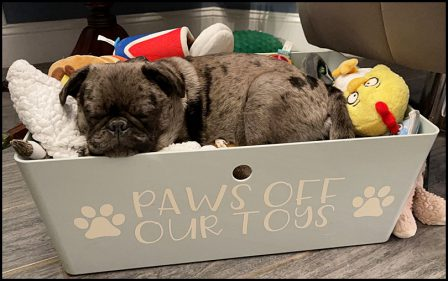 Sleeping on top of your toys is a way to keep others out! - Merle Pug Puppies | If you pick up a starving dog and make him prosperous he will not bite you. This is the principal difference between a dog and man.
