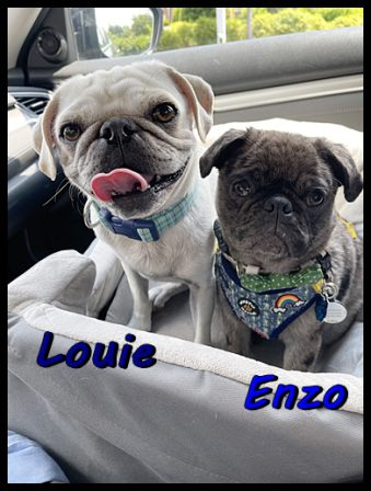 Snow's Dave/Louie and Lady Blue's Francis/Enzo - Multiple Color Pugs - Puppies and Adults | Petting, scratching, and cuddling a dog could be as soothing to the mind and heart as deep meditation and almost as good for the soul as prayer.