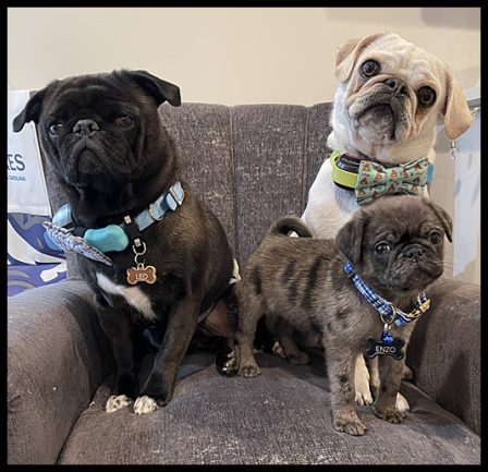 The three amigos Leo, Louie, and Enzo - Multiple Color Pugs - Puppies and Adults | The more people I meet, the more I love my dog.