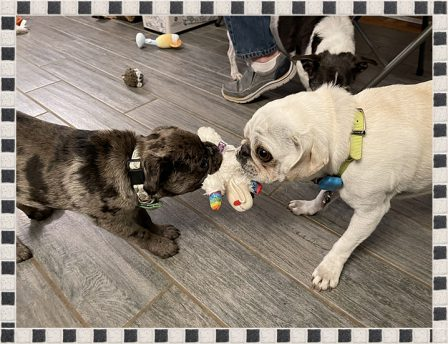 Louie only shares his toys with Enzo - Multiple Color Pugs - Puppies and Adults | Such short lives our dogs have to spend with us, and they spend most of it waiting for us to come home each day.