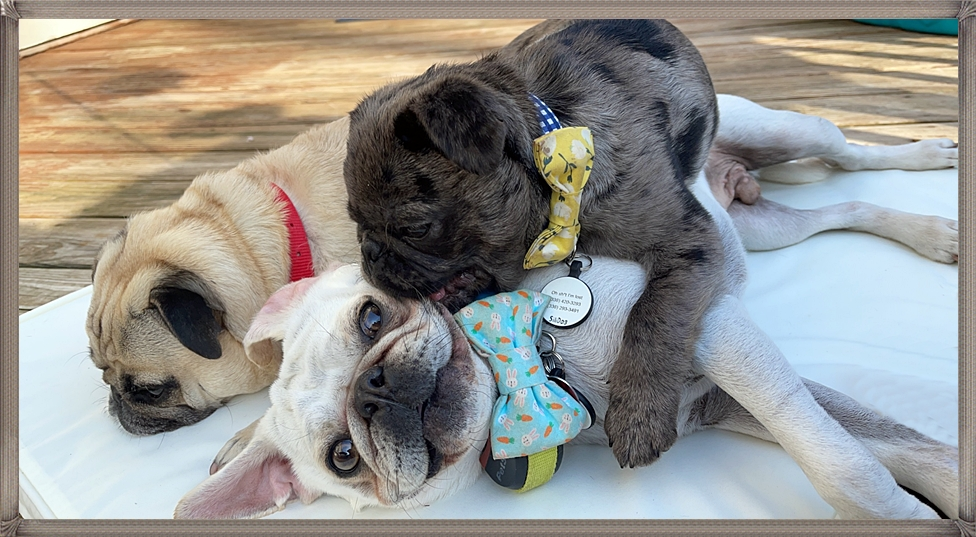 Leigh's grumble of pugs – all different colors!