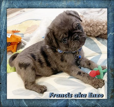 Lady Blue is my mom and I am ADORABLE! - Merle Pug Puppies | Dogs love their friends and bite their enemies, quite unlike people, who are incapable of pure love and always mix love and hate.