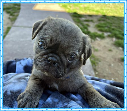I love to pose for pictures! - Merle Pug Puppies | One reason a dog can be such a comfort when you're feeling blue is that he doesn't try to find out why.