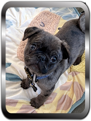 Now you have to admit I am absolutely adorable! - Merle Pug Puppies | Dogs feel very strongly that they should always go with you in the car, in case the need should arise for them to bark violently at nothing, right in your ear.