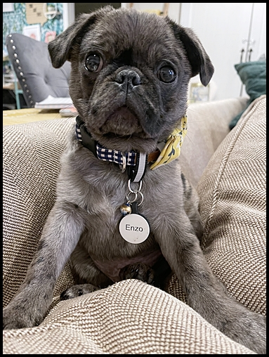 Example of a beautiful blue merle pug puppy