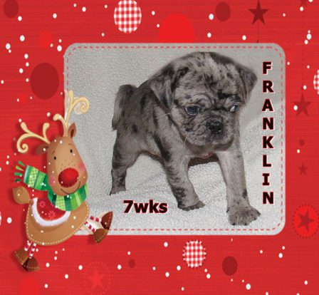 Merry 2020 Christmas from Cinder's Franklin - Merle Pug Puppies | If there are no dogs in Heaven, then when I die I want to go where they went.