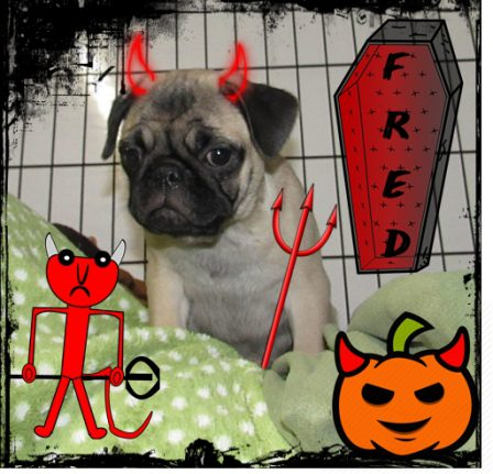 Frightening Fred - Fawn Pug Puppies | If dogs could talk, perhaps we would find it as hard to get along with them as we do with people.