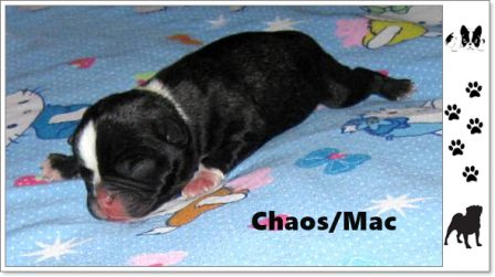 Ebony's Frug Puppy Chaos/Mack in 2015 - Multiple Color Pugs Puppies | If dogs could talk, perhaps we would find it as hard to get along with them as we do with people.