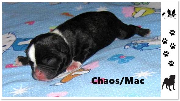 Ebony's Frug Puppy Chaos/Mack in 2015
