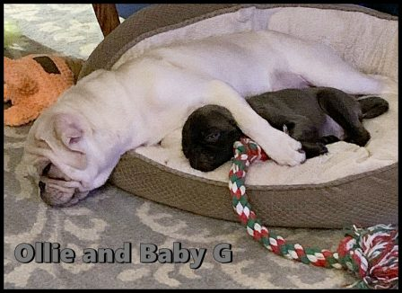 A true bonding with BFF's Olllie and Baby G - Multiple Color Pugs Puppies | Did you ever walk into a room and forget why you walked in? I think that is how dogs spend their lives.