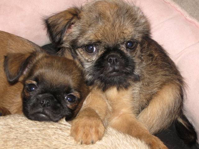 Smooth and Rough Coat Brussels Griffons