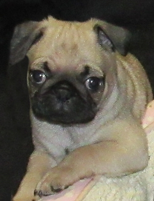 My name is Ziggy and I am all that and a bag of chips! - Fawn Pug Puppies | Even the tiniest dog is lionhearted, ready to do anything to defend home and family.