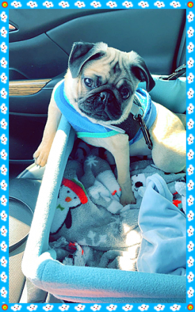 No wonder I love to take a ride in the car! - Fawn Pug Puppies | If you pick up a starving dog and make him prosperous he will not bite you. This is the principal difference between a dog and man.