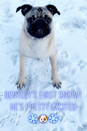 Brandy's George aka Bentley loving the snow! - Fawn Pug Puppies | A dog will teach you unconditional love, if you can have that in your life, things won't be too bad.