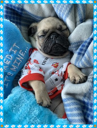 Dreaming in my new jammies - Fawn Pug Puppies | If you think dogs can't count, try putting three dog biscuits in your pocket and give him only two of them.