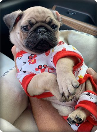 Modeling my new jammies! - Fawn Pug Puppies | Money will buy you a pretty good dog, but it won't buy the wag of his tail.