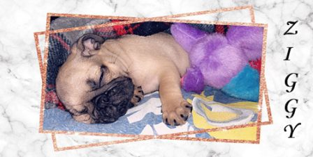 Ashley's Ziggy - Fawn Pug Puppies | Every boy who has a dog should also have a mother, so the dog can be fed regularly.