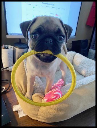 Puddin's Glory/Marley with the biggest teething ring of all! - Fawn Pug Puppies | Old dogs, like old shoes, are comfortable. They might be a bit out of shape and a little worn around the edges, but they fit well.