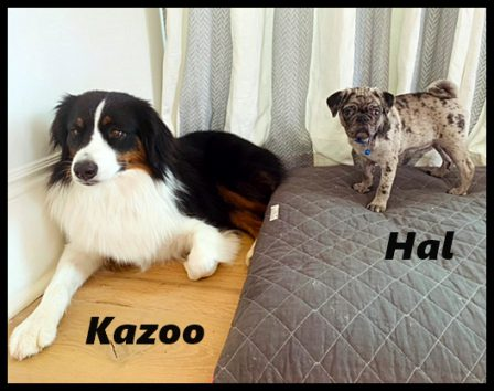 Hal & Kazoo - Merle Pug Puppies | No one appreciates the very special genius of your conversation as the dog does.