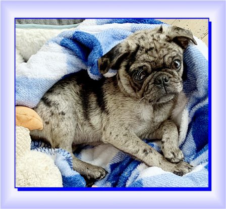 Lady Blue/Sterling boy, Hal, just chillin' - Merle Pug Puppies | Heaven goes by favor, if it went by merit, you would stay out and your dog would go in.