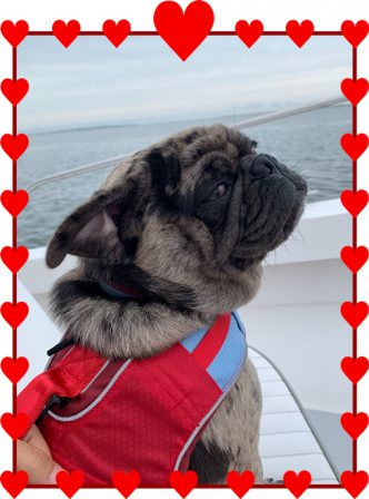 Captain Hal enjoying his boat ride in Nantucket - Merle Pug Puppies | Outside of a dog, a book is man's best friend - inside of a dog it's too dark to read.