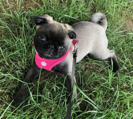 My name is Paetyn and everyone says I am gorgeous! - Silver Pug Puppies | Even the tiniest dog is lionhearted, ready to do anything to defend home and family.