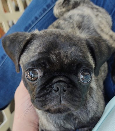 How could anyone not adore this darling girl? - Brindle Pug Puppies | If you think dogs can't count, try putting three dog biscuits in your pocket and give him only two of them.