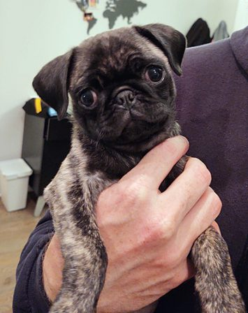 Elsa's brindle baby girl Helen/Cera - Brindle Pug Puppies | The average dog is a nicer person than the average person.