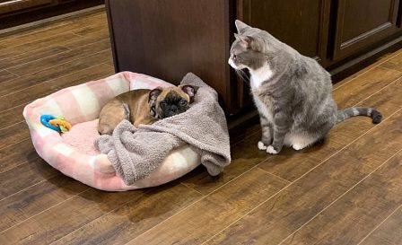 Hershey Kiss/CeCe will not give up her bed! - Brindle Pug Puppies | Outside of a dog, a book is man's best friend - inside of a dog it's too dark to read.