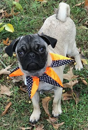 Hutch aka Sir George Pugington - Fawn Pug Puppies | The dog is a gentleman; I hope to go to his heaven not man's.