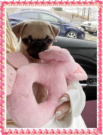 Ivanka on her way to the vet for her second shot - Fawn Pug Puppies | Such short lives our dogs have to spend with us, and they spend most of it waiting for us to come home each day.