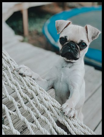 Lucy's Ivanka/Posey is very photogenic - Fawn Pug Puppies | If I have any beliefs about immortality, it is that certain dogs I have known will go to heaven, and very, very few persons.