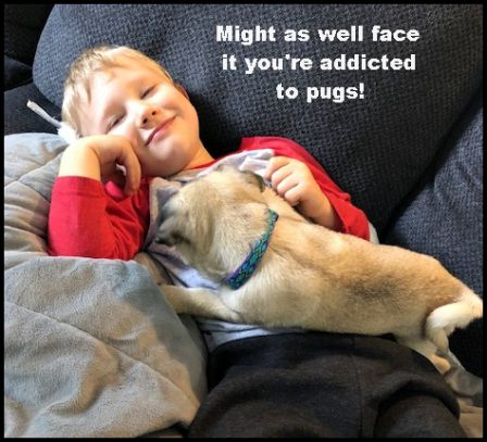 Pure delight! - Fawn Pug Puppies | Every boy who has a dog should also have a mother, so the dog can be fed regularly.