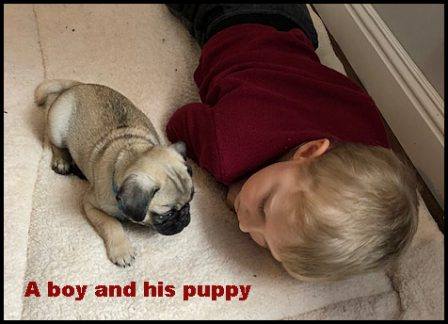 The look of love! - Fawn Pug Puppies | The one absolutely unselfish friend that man can have in this selfish world, the one that never deserts him, the one that never proves ungrateful or treacherous, is his dog.