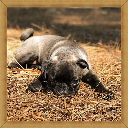 Cocoa's Jackie/Olive in a Kodak moment - Silver Pug Puppies | Do not make the mistake of treating your dogs like humans or they will treat you like dogs.