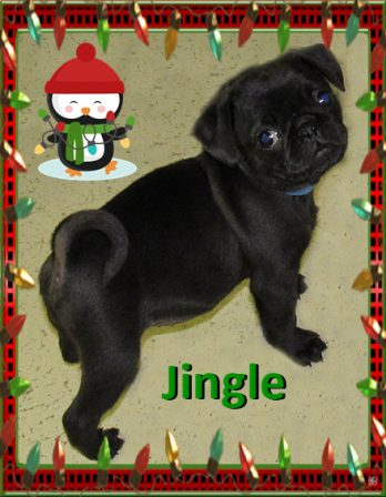 Jingle wants to know if you are ready for Christmas? - Black Pug Puppies | A dog is one of the remaining reasons why some people can be persuaded to go for a walk.