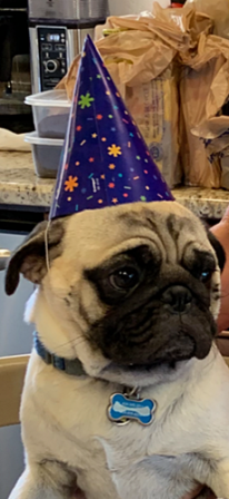 No, it is not a dunce hat!  It is a birthday hat! - Adult Fawn Pug | If you don't own a dog, at least one, there is not necessarily anything wrong with you, but there may be something wrong with your life.